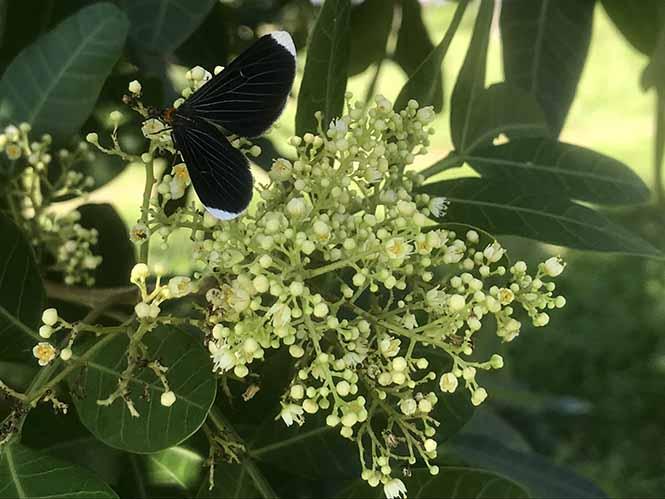 Aroeira - Schinus terebinthifolia - Canto das Flores 2