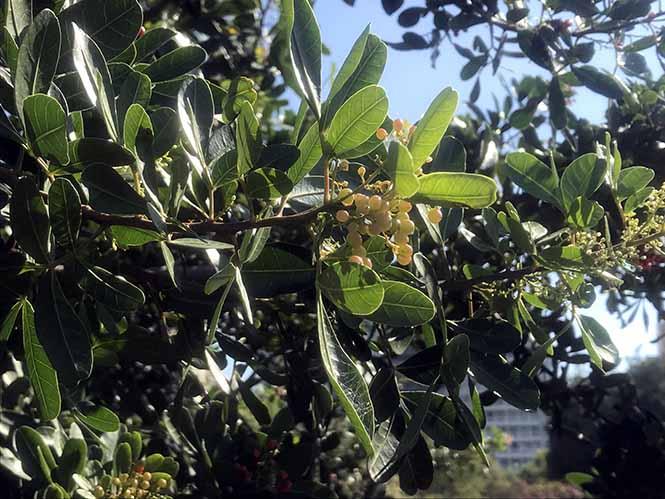 Aroeira - Schinus terebinthifolia - Canto das Flores 4