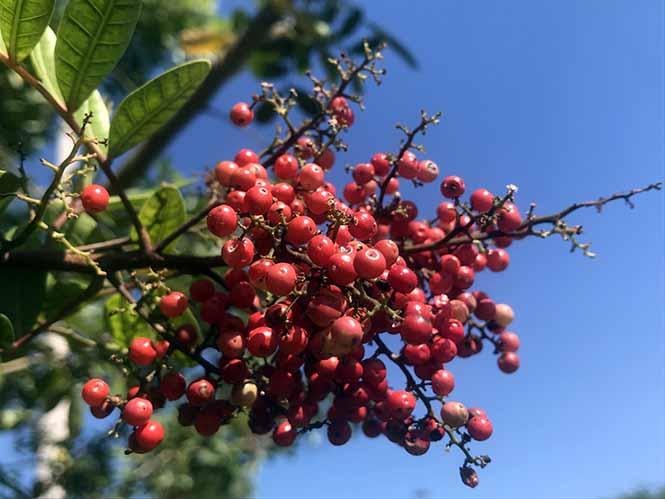 Aroeira - Schinus terebinthifolia - Canto das Flores 8