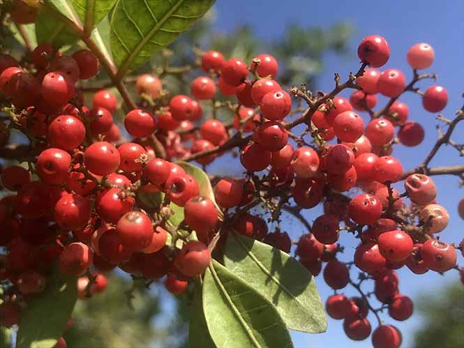 Aroeira - Schinus terebinthifolia - Canto das Flores 9