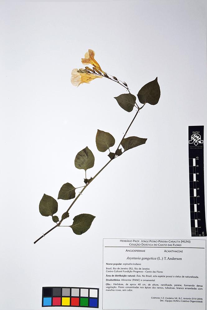 Asystasia gangetica - Exsicata