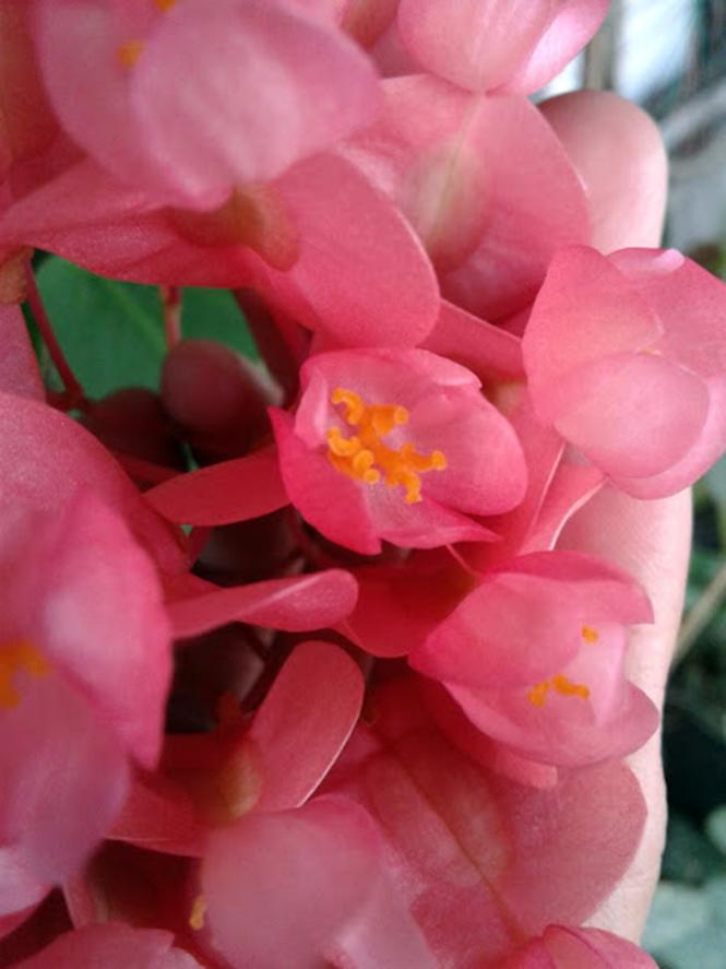 Begonia coccinea - Canto das Flores 3