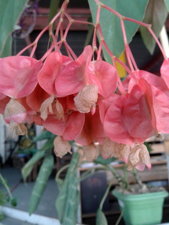 Begonia coccinea - Canto das Flores 4