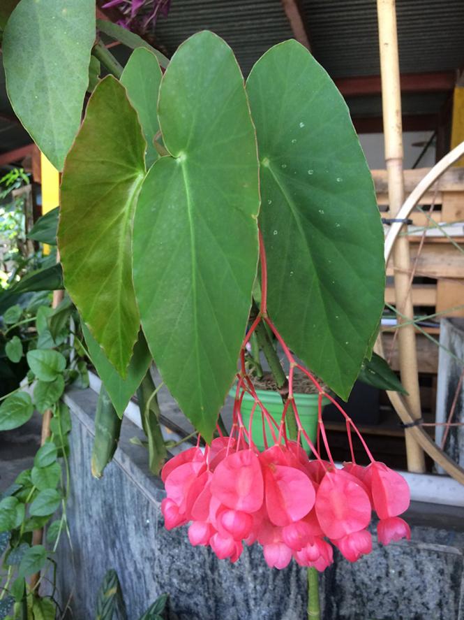 Begonia coccinea - Canto das Flores 9