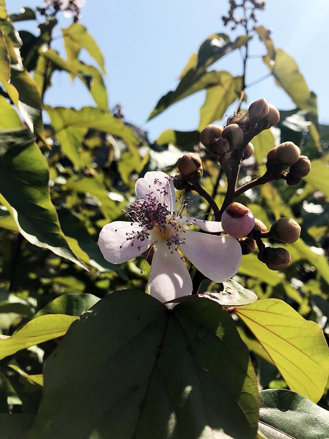Bixa orellana - Canto das Flores 2
