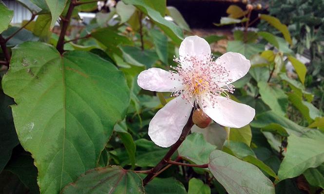 Bixa orellana - Canto das Flores 3