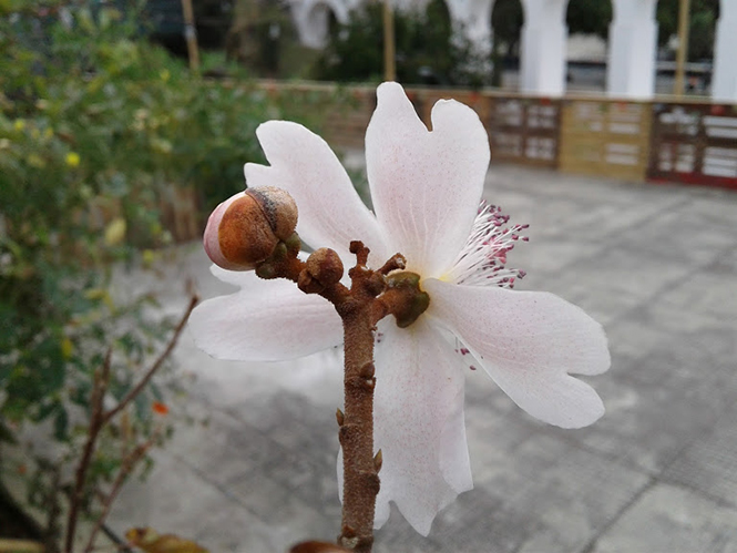 Bixa orellana - Canto das Flores 4