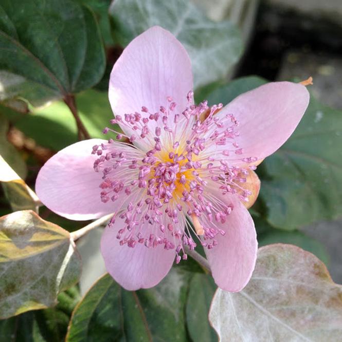 Bixa orellana - Canto das Flores 6