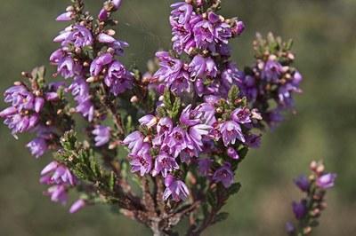 Calluna vulgaris - Jac Janssen 2