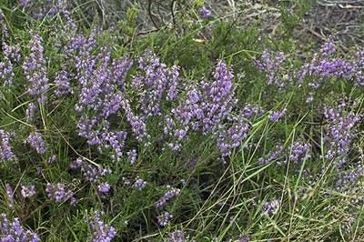 Calluna vulgaris - Jac Janssen