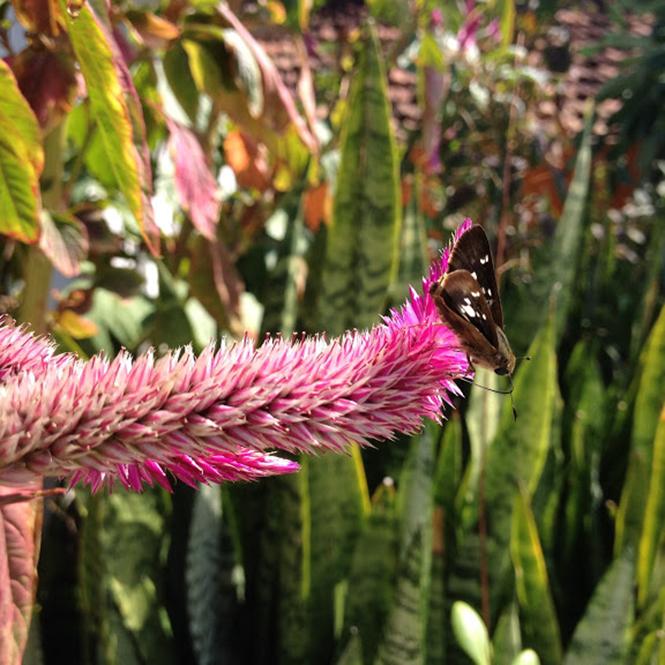 Celosia argentea - Canto das Flores 2