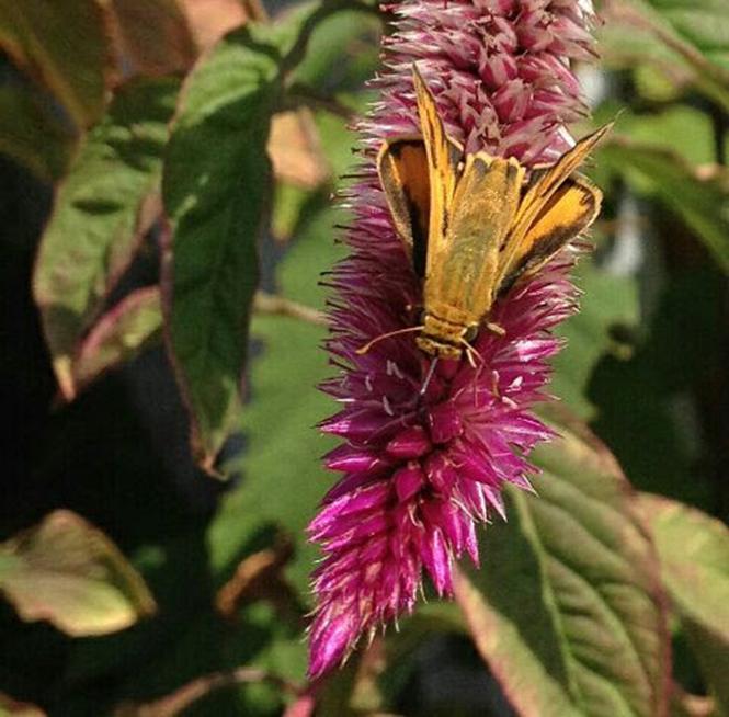 Celosia argentea - Canto das Flores 3