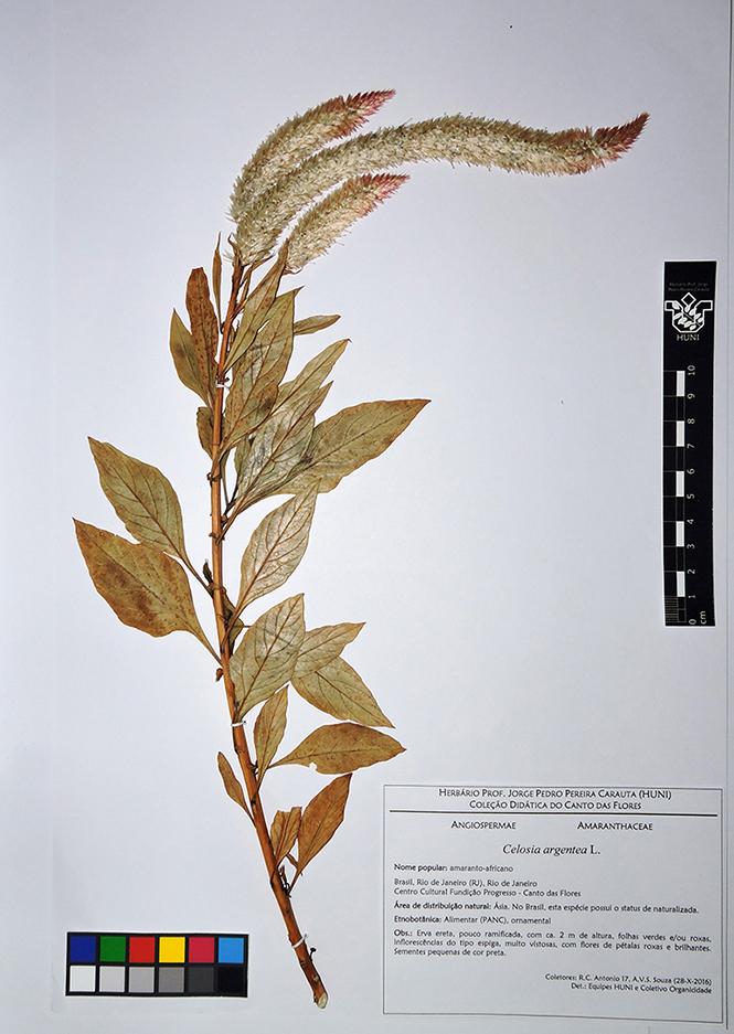 Celosia argentea L. - exsicata