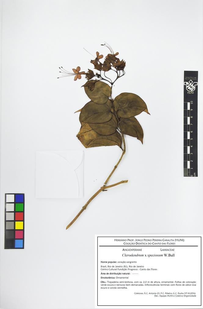 Clerodendrum x speciosum - Exsicata