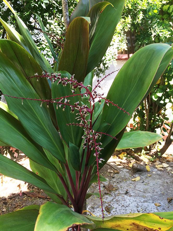 Cordyline fruticosa - Canto das Flores 1