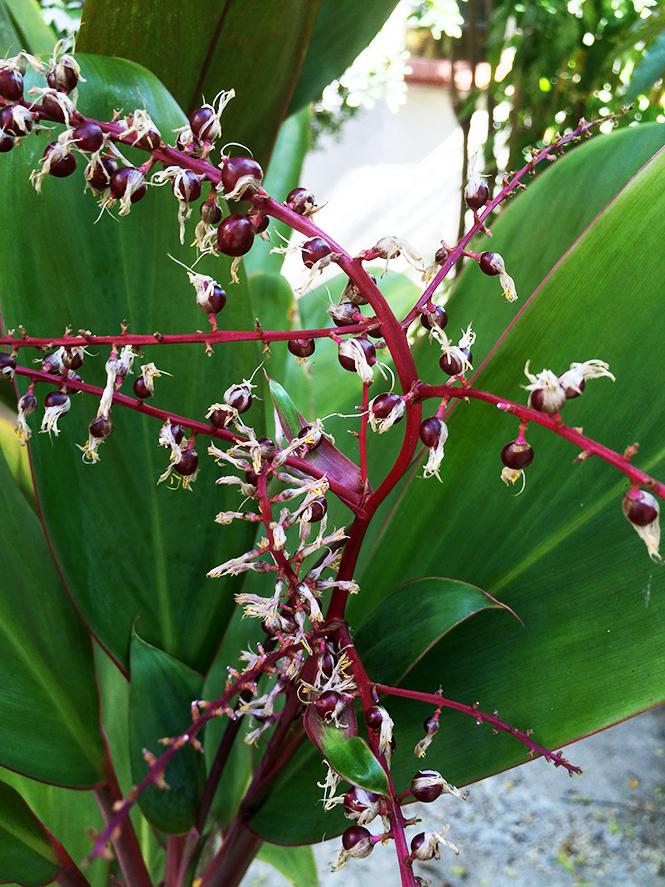 Cordyline fruticosa - Canto das Flores 2