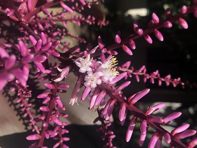 Cordyline fruticosa - Canto das Flores 6
