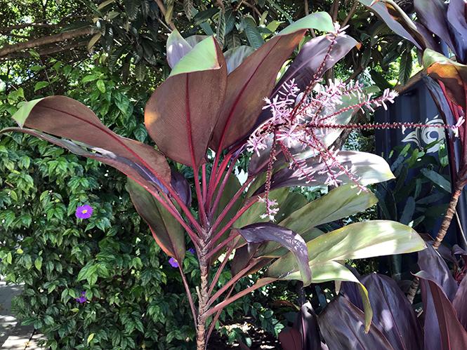 Cordyline fruticosa - Canto das Flores 7