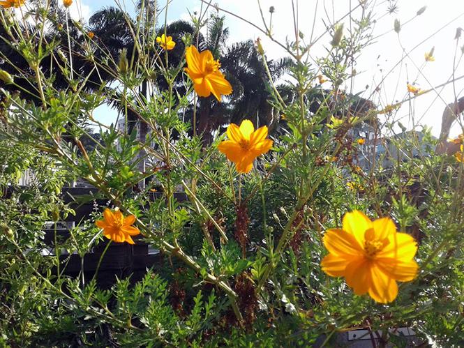 Cosmos sulphureus - Canto das Flores 1