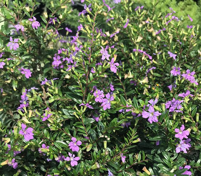 Cuphea hyssopifolia - Canto das Flores 5