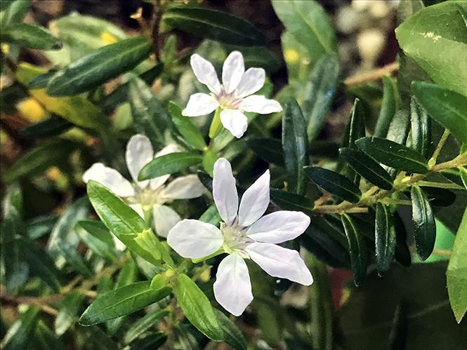 Cuphea hyssopifolia - Canto das Flores 6