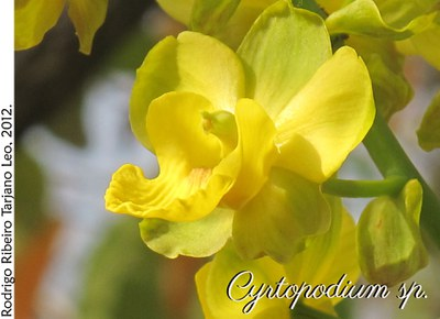Cyrtopodium sp