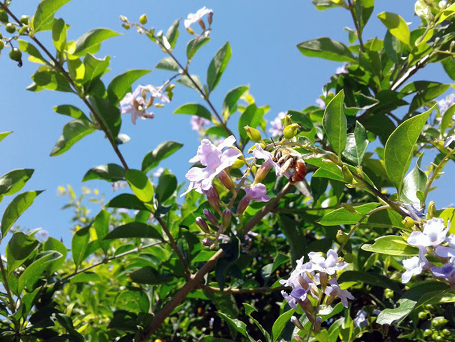 Duranta erecta - Canto das Flores 3