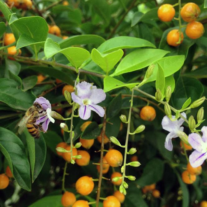 Duranta erecta - Canto das Flores 4