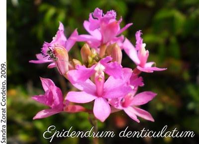 Epidendrum denticulatum 1