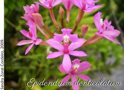 Epidendrum denticulatum 2