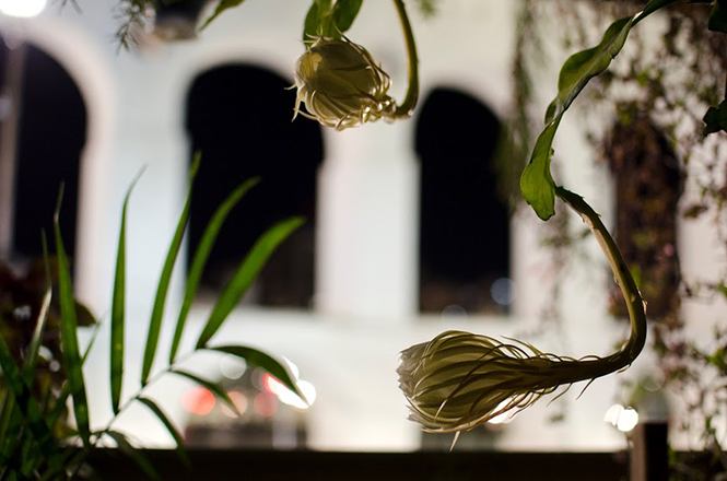 Epiphyllum oxypetallum - Canto das Flores 3