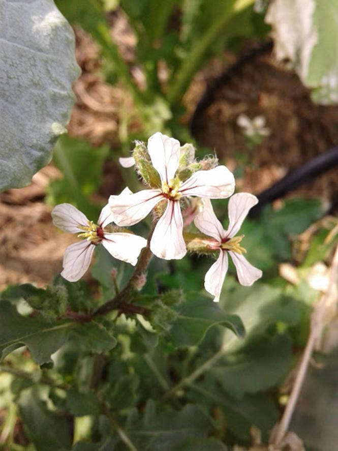 Eruca vesicaria - Canto das Flores 1