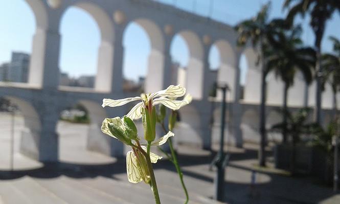 Eruca vesicaria - Canto das Flores 3
