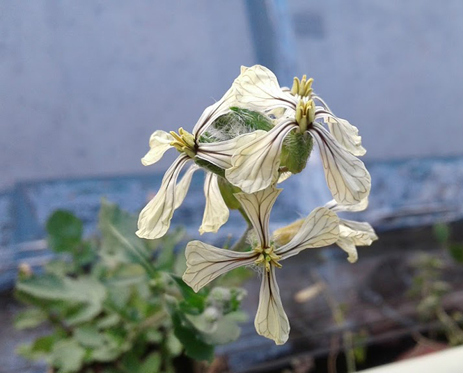 Eruca vesicaria - Canto das Flores 5
