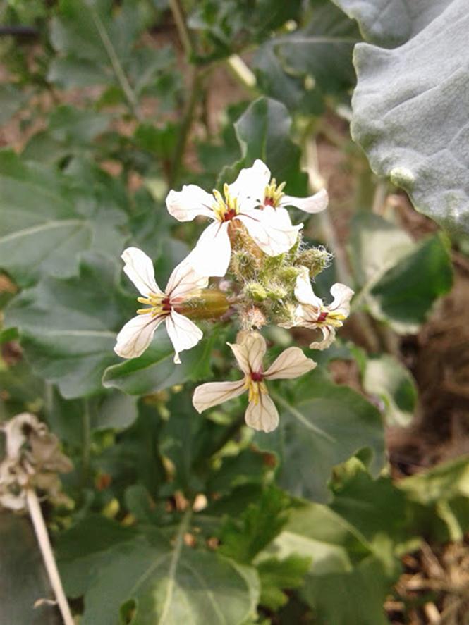 Eruca vesicaria - Canto das Flores 6