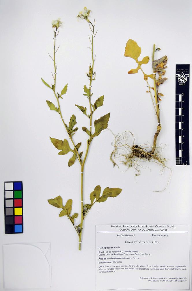 Eruca vesicaria - exsicata