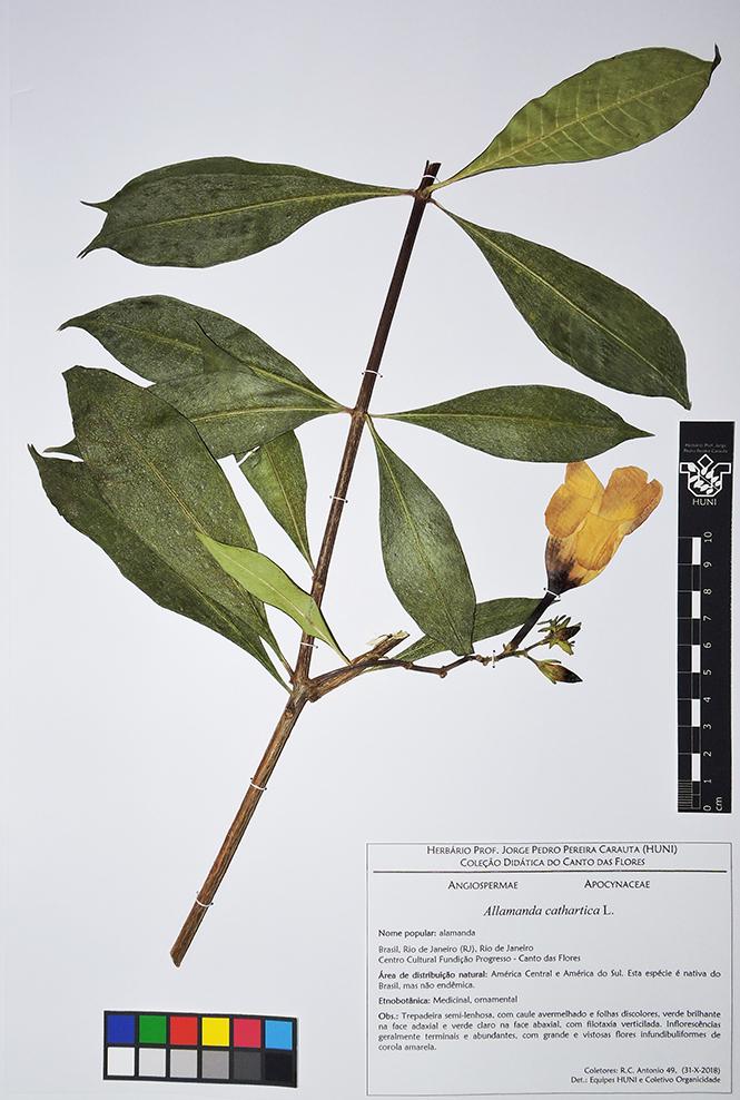 Exsciata - Allamanda cathartica