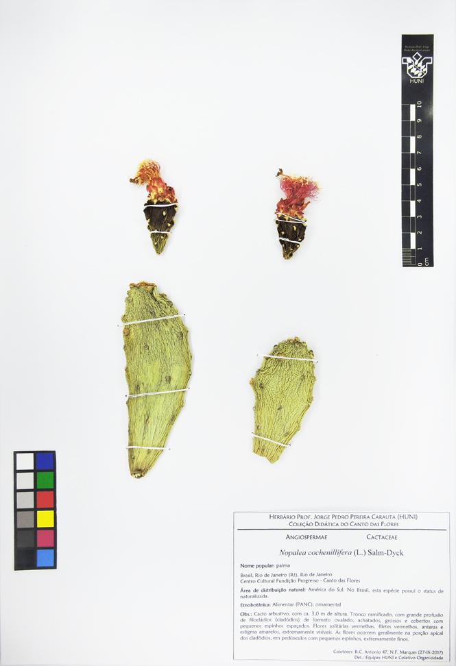 Exsicata - Nopalea cochenillifera