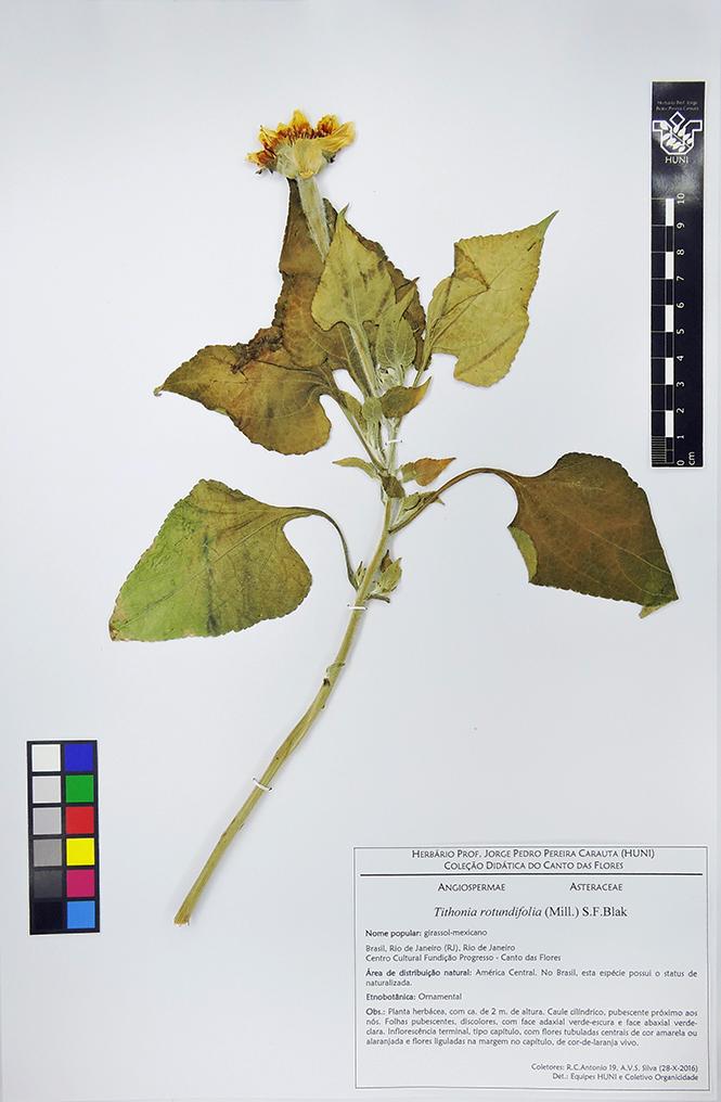Exsicata - Tithonia rotundifolia