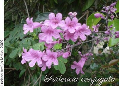 Fridericia conjugata