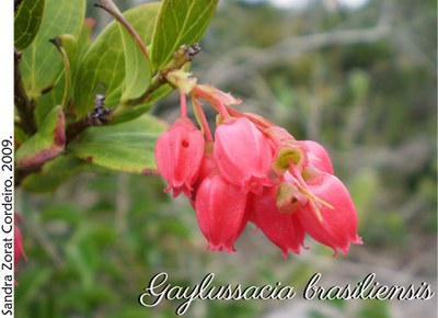 Gaylussacia brasiliensis
