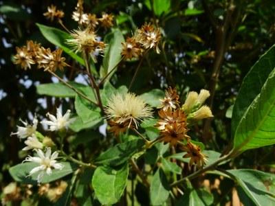 Gymnanthemum amygdalinum - Forestowlet