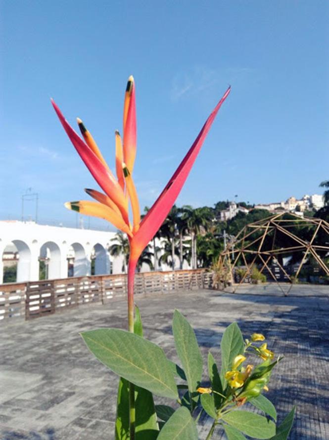 Heliconia psittacorum - Canto das Flores 1