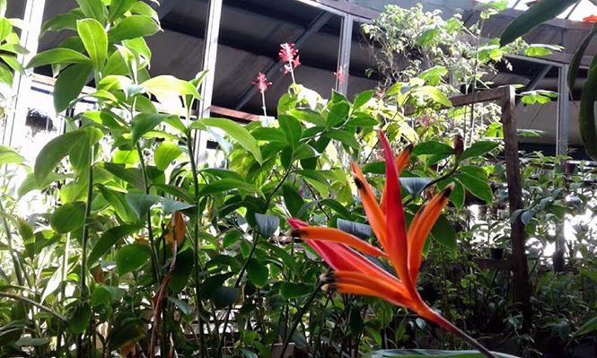 Heliconia psittacorum - Canto das Flores 2
