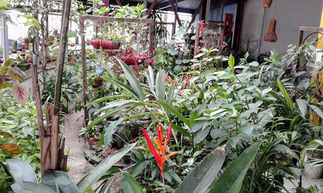 Heliconia psittacorum - Canto das Flores 3