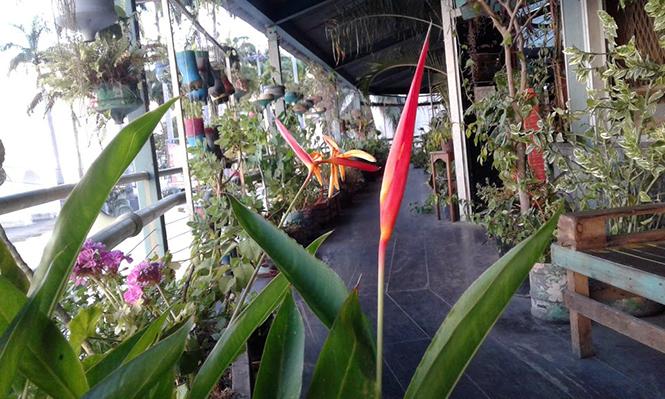 Heliconia psittacorum - Canto das Flores 4