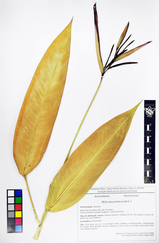 Heliconia psittacorum - exsicata