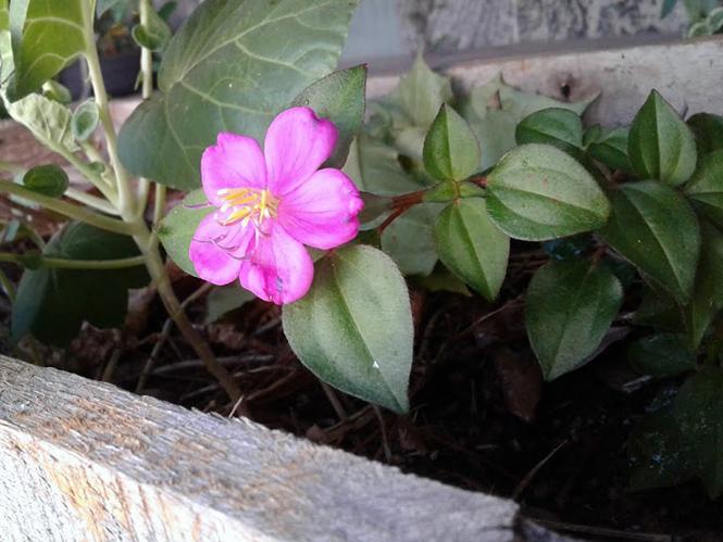 Heterotis rotundifolia - Canto das Flores 1