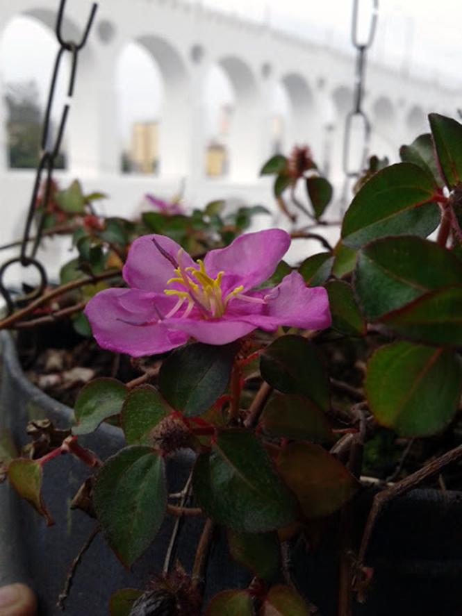 Heterotis rotundifolia - Canto das Flores 2