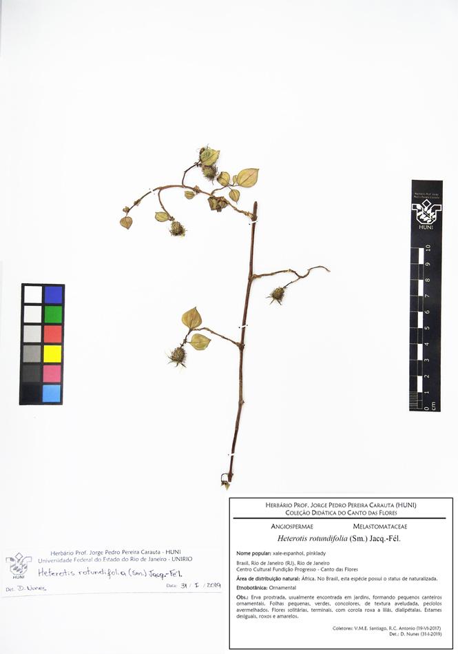 Heterotis rotundifolia - Exsicata